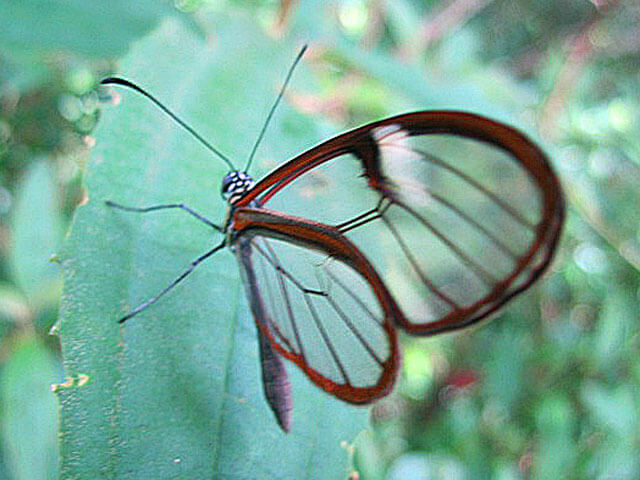 Monteverde Forest Glass Winged Butterfly