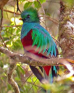 famous quetzals of the monteverde forest