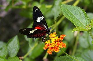 Costa Rica Linnaeus butterfly