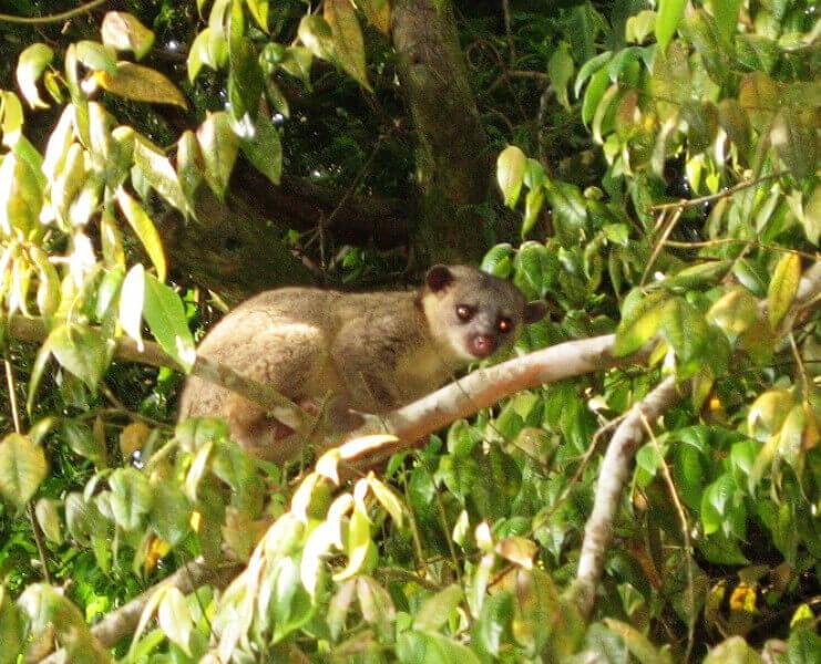 Kinkajou Monteverde Costa Rica
