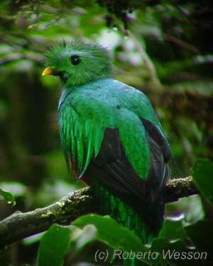 Monteverde Costa Rica Quetzal