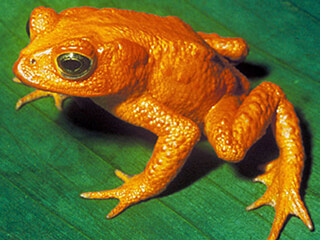 Golden Frog in Monteverde