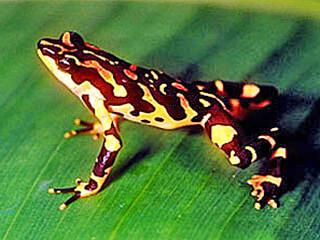 Frog in Monteverde