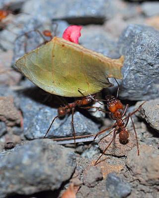 Amazing Monteverde Leaf-cutter Ants