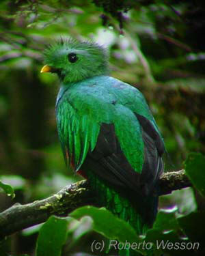 Monteverde Cloud Forest Reserve Quetzal