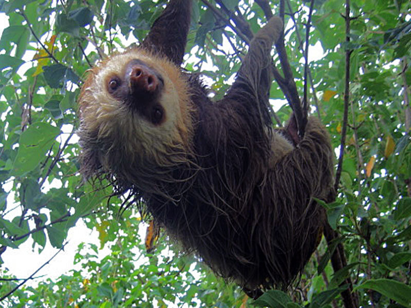 Monteverde Cloud Forest Sloth