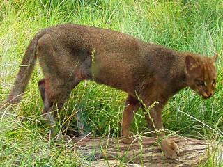 Wild Cat Jaguarundi