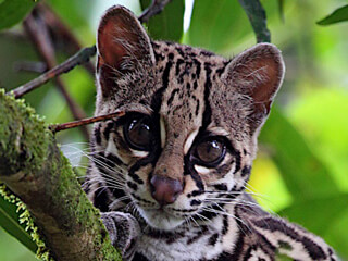 Wild Cats of Monteverde Costa Rica