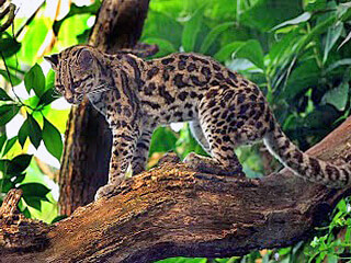 Margay - Can be found in Monteverde Cloud Forests