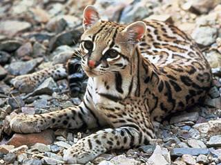 Ocelot - Wild Cat