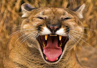 Puma Wild Cat