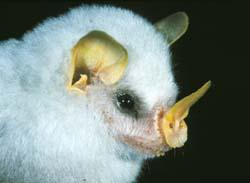 Monteverde Bat Jungle Costa Rica