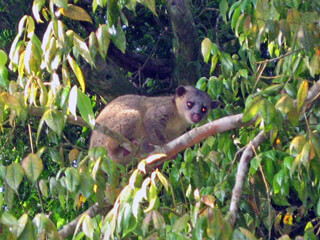 Kinkajou Monteverde Cloud Forest