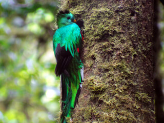 Queztal in the Monteverde Clould Forest