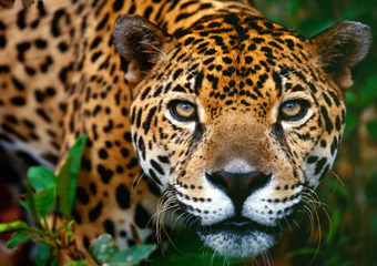 large jaguar