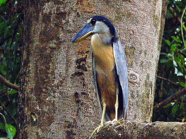 Boat Billed Heron Rio Corobici Safari Float Costa Rica
